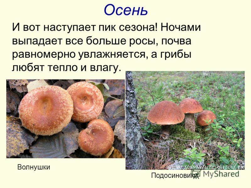 Осень И вот наступает пик сезона! Ночами выпадает все больше росы, почва равномерно увлажняется, а грибы любят тепло и влагу. Волнушки Подосиновики