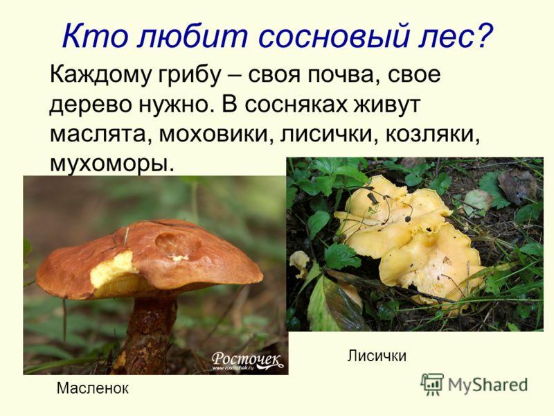 Кто любит сосновый лес? Каждому грибу – своя почва, свое дерево нужно. В сосняках живут маслята, моховики, лисички, козляки, мухоморы. Масленок Лисички