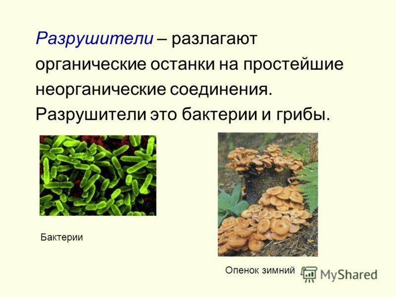 Разрушители – разлагают органические останки на простейшие неорганические соединения. Разрушители это бактерии и грибы. Бактерии Опенок зимний