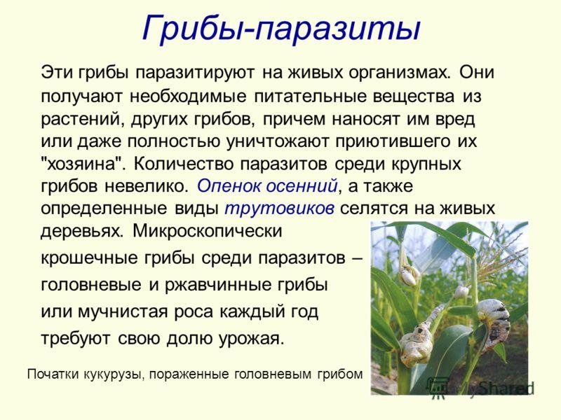 Грибы-паразиты Эти грибы паразитируют на живых организмах. Они получают необходимые питательные вещества из растений, других грибов, причем наносят им вред или даже полностью уничтожают приютившего их