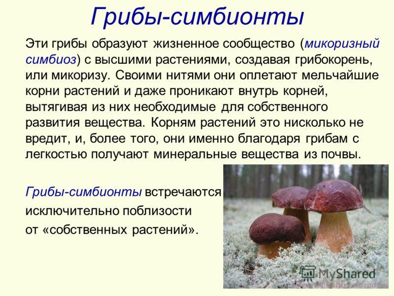 Грибы-симбионты Эти грибы образуют жизненное сообщество (микоризный симбиоз) с высшими растениями, создавая грибокорень, или микоризу. Своими нитями они оплетают мельчайшие корни растений и даже проникают внутрь корней, вытягивая из них необходимые д