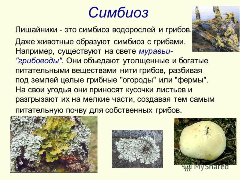 Симбиоз Лишайники - это симбиоз водорослей и грибов. Даже животные образуют симбиоз с грибами. Например, существуют на свете муравьи-