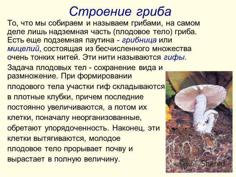 Строение гриба То, что мы собираем и называем грибами, на самом деле лишь надземная часть (плодовое тело) гриба. Есть еще подземная паутина - грибница или мицелий, состоящая из бесчисленного множества очень тонких нитей. Эти нити называются гифы. Зад