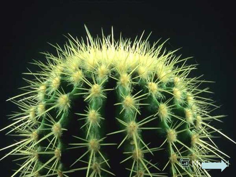 Он колюч, зеленокож, И на ёжика похож. На окошке растёт, Очень редко цветёт.