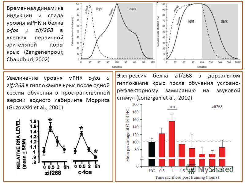 Увеличение уровня мРНК с-fos и zif/268 в гиппокампе крыс после одной сессии обучения в пространственной версии водного лабиринта Морриса (Guzowski et al., 2001) Экспрессия белка zif/268 в дорзальном гиппокампе крыс после обучения условно- рефлекторно