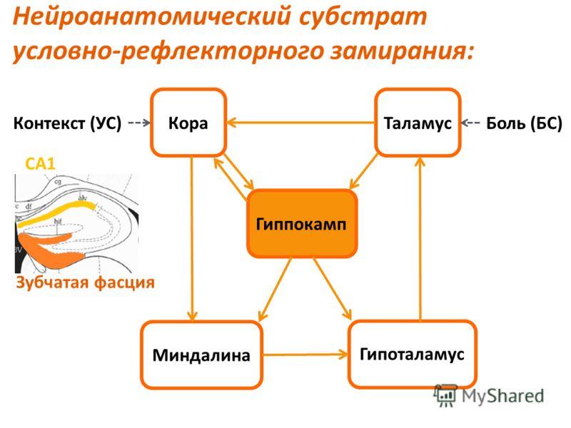 Нейроанатомический субстрат условно-рефлекторного замирания: Боль (БС)Контекст (УС) Гиппокамп Миндалина Гипоталамус ТаламусКора СА1 Зубчатая фасция