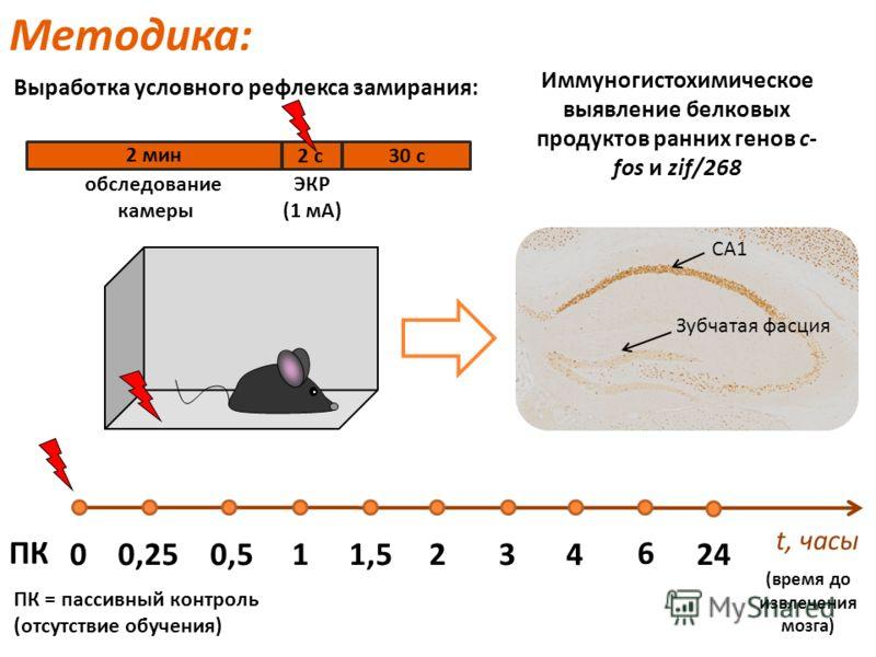 Методика: t, часы 0 ПК 0,50,251,51432 6 24 ПК = пассивный контроль (отсутствие обучения) Иммуногистохимическое выявление белковых продуктов ранних генов c- fos и zif/268 (время до извлечения мозга) СА1 Зубчатая фасция Выработка условного рефлекса зам