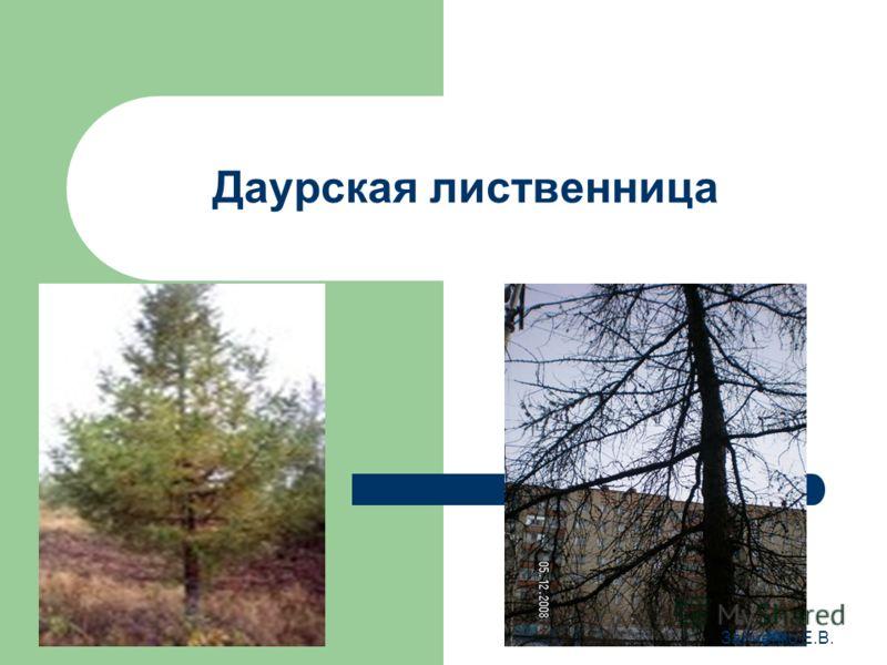 Даурская лиственница Зайченко Е.В.