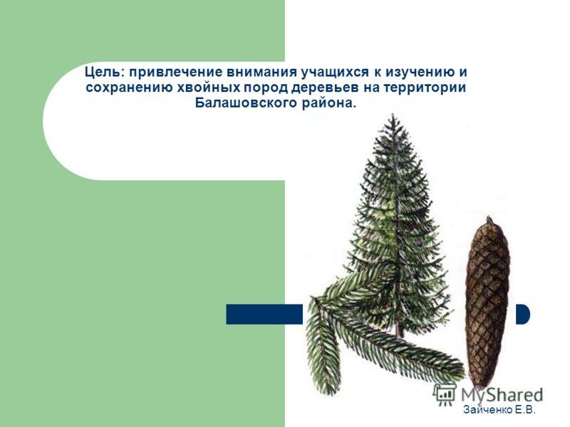 Цель: привлечение внимания учащихся к изучению и сохранению хвойных пород деревьев на территории Балашовского района. Зайченко Е.В.