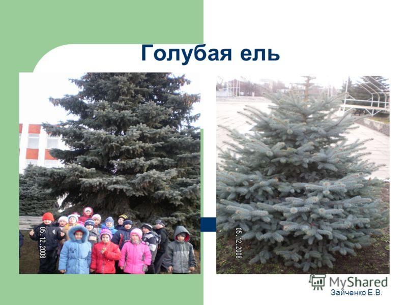 Голубая ель Зайченко Е.В.