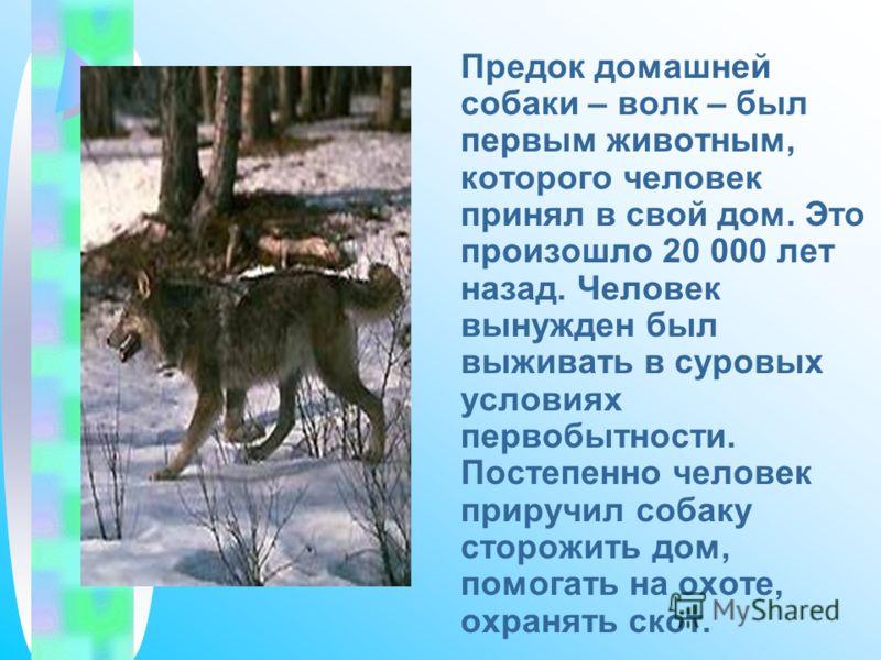 Предок домашней собаки – волк – был первым животным, которого человек принял в свой дом. Это произошло 20 000 лет назад. Человек вынужден был выживать в суровых условиях первобытности. Постепенно человек приручил собаку сторожить дом, помогать на охо