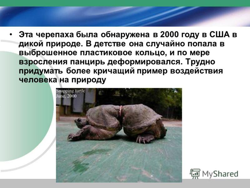 Эта черепаха была обнаружена в 2000 году в США в дикой природе. В детстве она случайно попала в выброшенное пластиковое кольцо, и по мере взросления панцирь деформировался. Трудно придумать более кричащий пример воздействия человека на природу