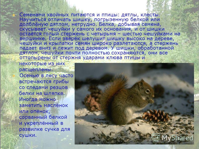 Семенами хвойных питаются и птицы: дятлы, клесты. Научиться отличать шишку, погрызенную белкой или долблёную дятлом, нетрудно. Белка, добывая семена, скусывает чешуйки у самого их основания, и от шишки остаётся голый стержень с четырьмя – шестью чешу