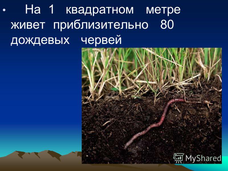 На 1 квадратном метре живет приблизительно 80 дождевых червей