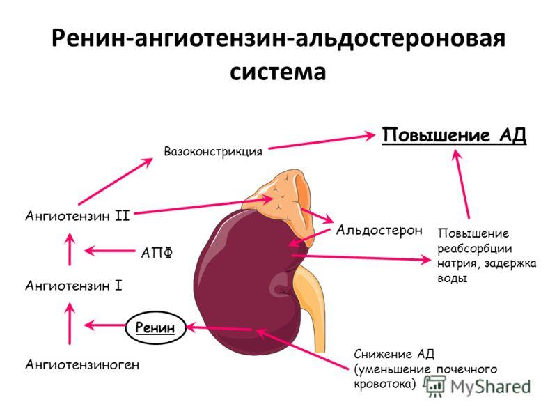 Ренин-ангиотензин-альдостероновая система Снижение АД (уменьшение почечного кровотока) Ангиотензиноген Ангиотензин I Ангиотензин II Вазоконстрикция Повышение реабсорбции натрия, задержка воды Альдостерон Повышение АД Ренин АПФ