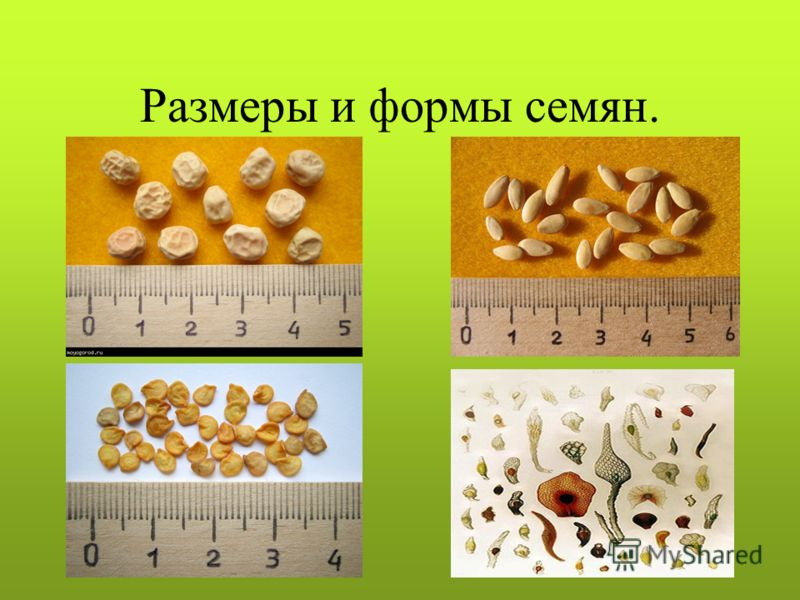 Размеры и формы семян.
