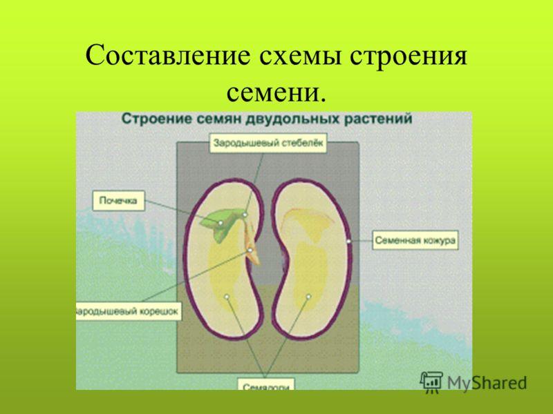 Составление схемы строения семени.