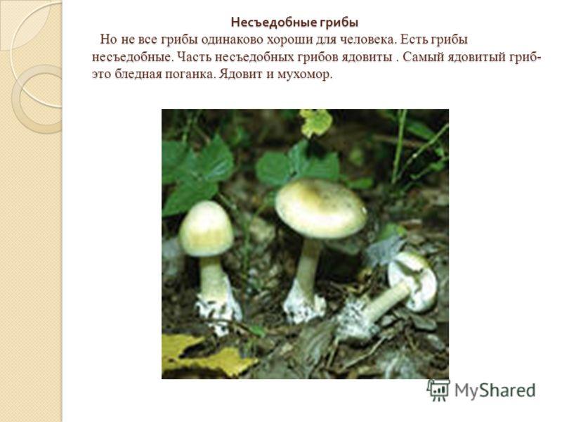 Несъедобные грибы Но не все грибы одинаково хороши для человека. Есть грибы несъедобные. Часть несъедобных грибов ядовиты. Самый ядовитый гриб- это бледная поганка. Ядовит и мухомор. Несъедобные грибы Но не все грибы одинаково хороши для человека. Ес