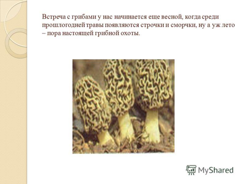 Встреча с грибами у нас начинается еще весной, когда среди прошлогодней травы появляются строчки и сморчки, ну а уж лето – пора настоящей грибной охоты.