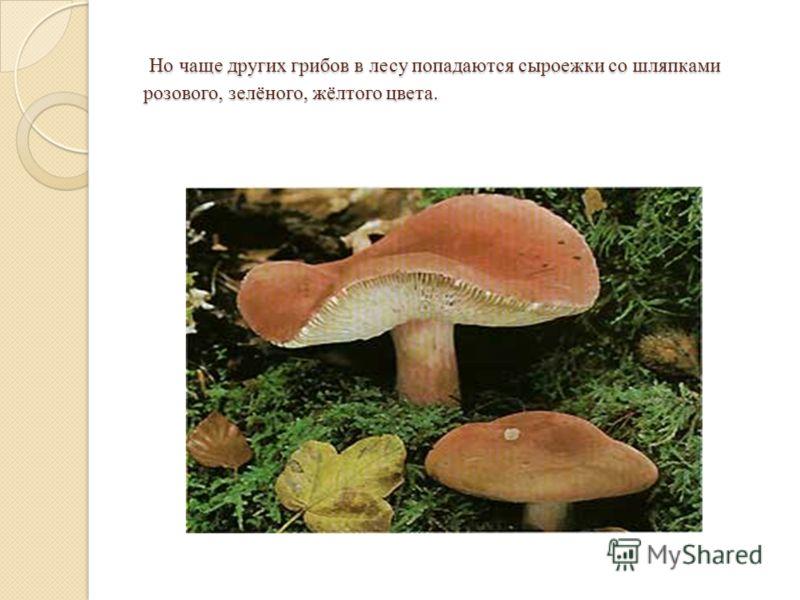 Но чаще других грибов в лесу попадаются сыроежки со шляпками розового, зелёного, жёлтого цвета. Но чаще других грибов в лесу попадаются сыроежки со шляпками розового, зелёного, жёлтого цвета.