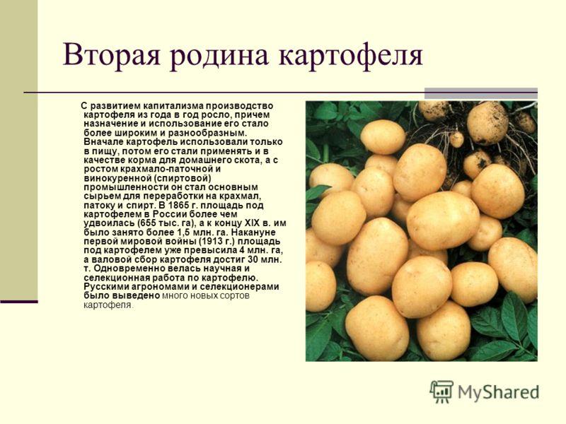 Вторая родина картофеля С развитием капитализма производство картофеля из года в год росло, причем назначение и использование его стало более широким и разнообразным. Вначале картофель использовали только в пищу, потом его стали применять и в качеств