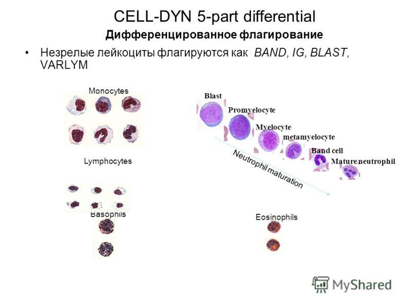 CELL-DYN 5-part differential Дифференцированное флагирование Незрелые лейкоциты флагируются как BAND, IG, BLAST, VARLYM Eosinophils Basophils Lymphocytes Monocytes metamyelocyte Band cell Mature neutrophil Blast Promyelocyte Myelocyte Neutrophil matu