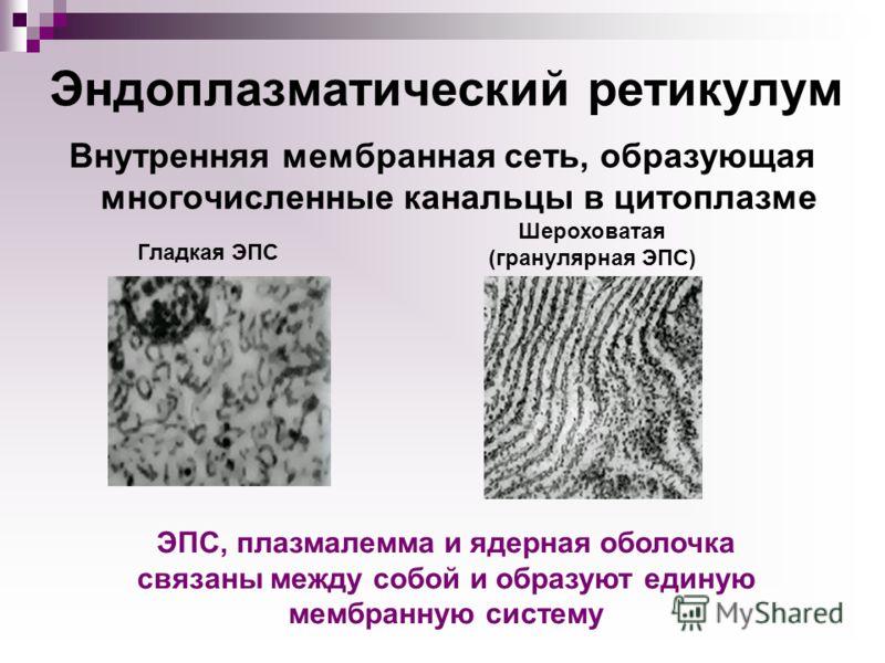 Эндоплазматический ретикулум Внутренняя мембранная сеть, образующая многочисленные канальцы в цитоплазме Шероховатая (гранулярная ЭПС) Гладкая ЭПС ЭПС, плазмалемма и ядерная оболочка связаны между собой и образуют единую мембранную систему