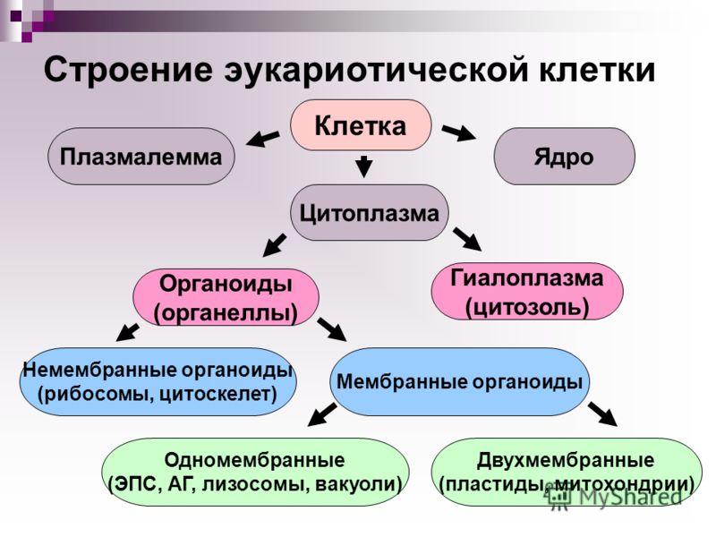 Строение эукариотической клетки Плазмалемма Цитоплазма Ядро Гиалоплазма (цитозоль) Органоиды (органеллы) Немембранные органоиды (рибосомы, цитоскелет) Мембранные органоиды Одномембранные (ЭПС, АГ, лизосомы, вакуоли) Двухмембранные (пластиды, митохонд