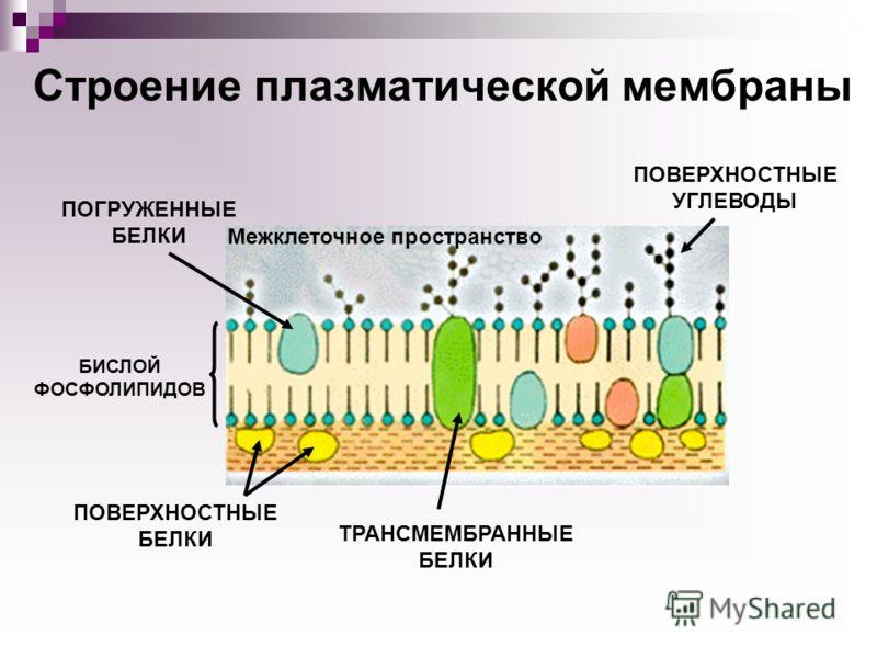 Строение плазматической мембраны Межклеточное пространство БИСЛОЙ ФОСФОЛИПИДОВ ПОВЕРХНОСТНЫЕ БЕЛКИ ПОГРУЖЕННЫЕ БЕЛКИ ТРАНСМЕМБРАННЫЕ БЕЛКИ ПОВЕРХНОСТНЫЕ УГЛЕВОДЫ