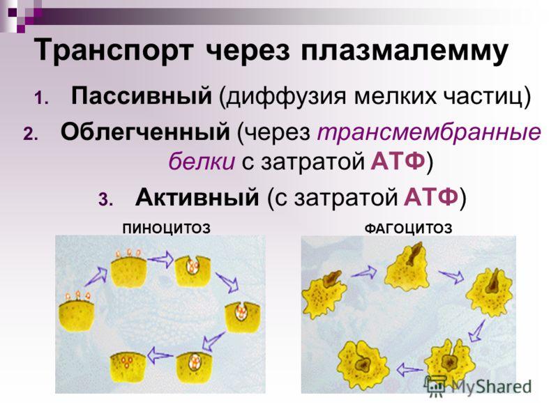 Транспорт через плазмалемму 1. Пассивный (диффузия мелких частиц) 2. Облегченный (через трансмембранные белки с затратой АТФ) 3. Активный (с затратой АТФ) ФАГОЦИТОЗПИНОЦИТОЗ