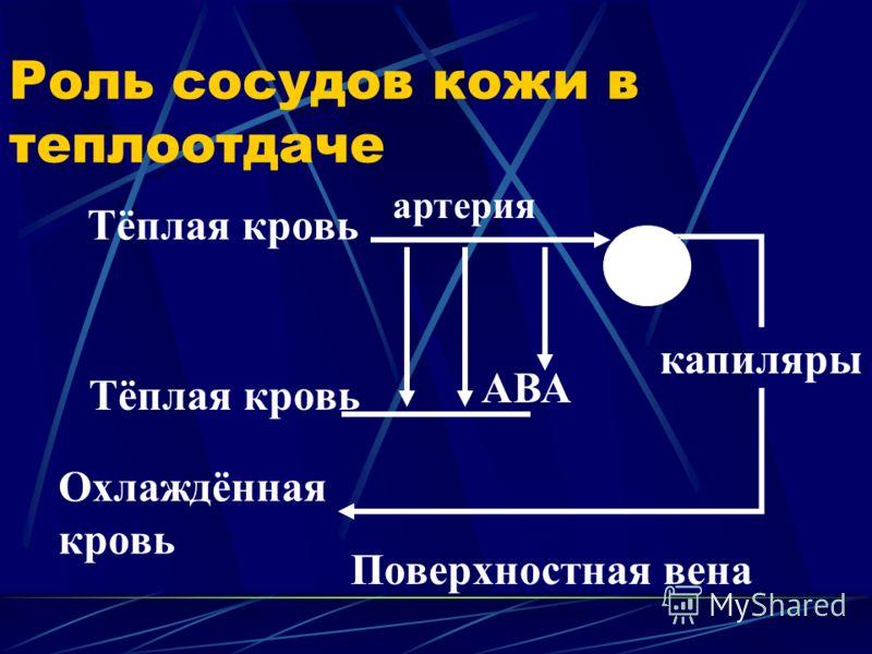 Роль сосудов кожи в теплоотдаче Тёплая кровь капиляры АВА Охлаждённая кровь Поверхностная вена артерия