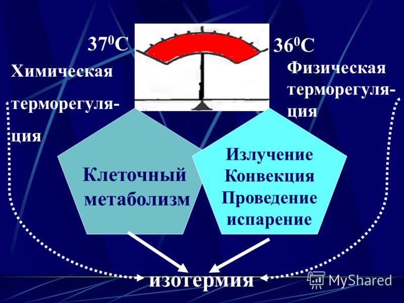 37 0 С 36 0 С Физическая терморегуля- ция Химическая терморегуля- ция Клеточный метаболизм Излучение Конвекция Проведение испарение изотермия