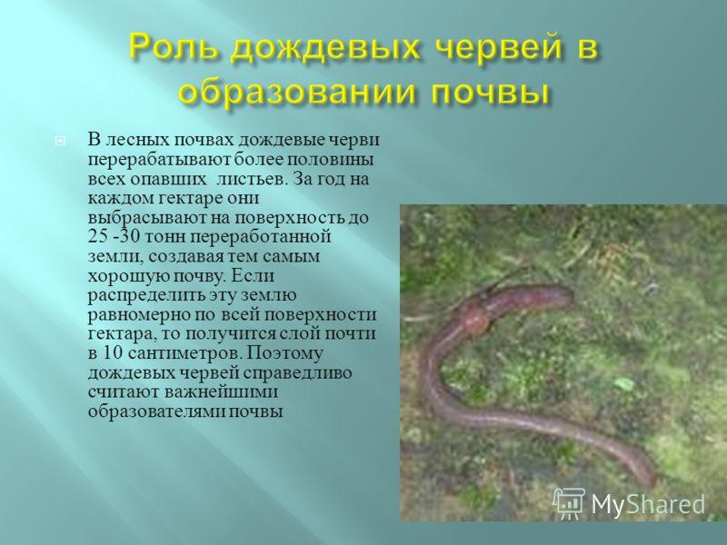 В лесных почвах дождевые черви перерабатывают более половины всех опавших листьев. За год на каждом гектаре они выбрасывают на поверхность до 25 -30 тонн переработанной земли, создавая тем самым хорошую почву. Если распределить эту землю равномерно п