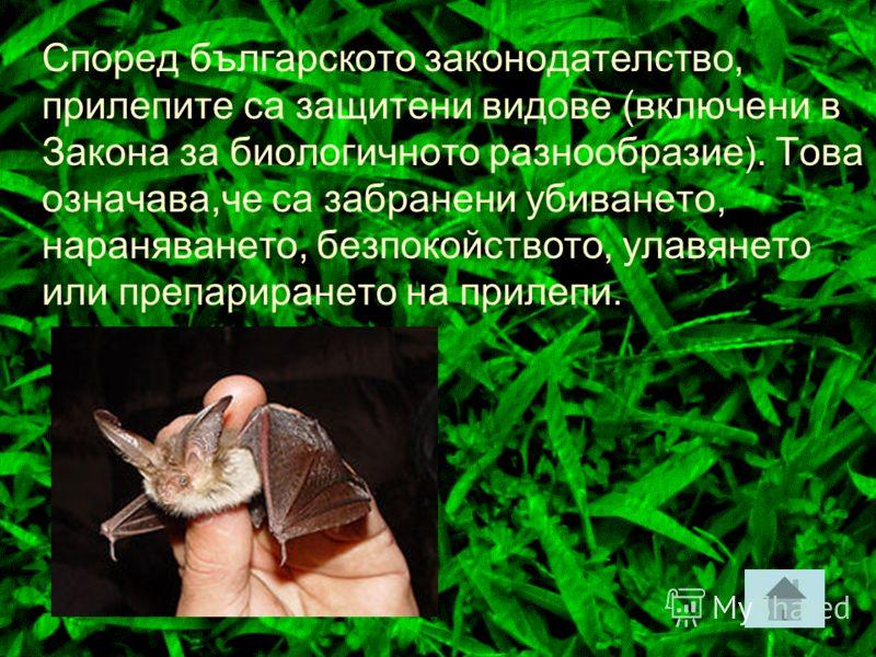 При летенето си прилепът издава последователно чести звуци. Когато тези звукови вълни достигат до преграда, те се отразяват от нея и се връщат обратно. Този жив радар помага на прилепите да откриват летящи насекоми и да ги улавят. Женският прилеп раж