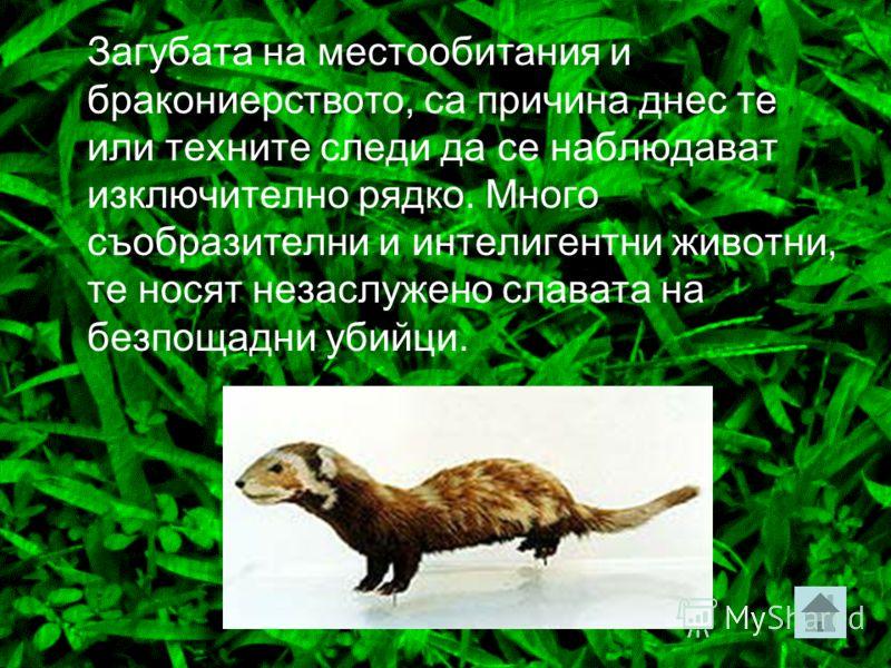 Пор Едни от най-редките български бозайници. Населяват открити пространства, хранят се най-вече с гризачи – лалугери, хомяци, по-рядко с гущери, змии, птици.
