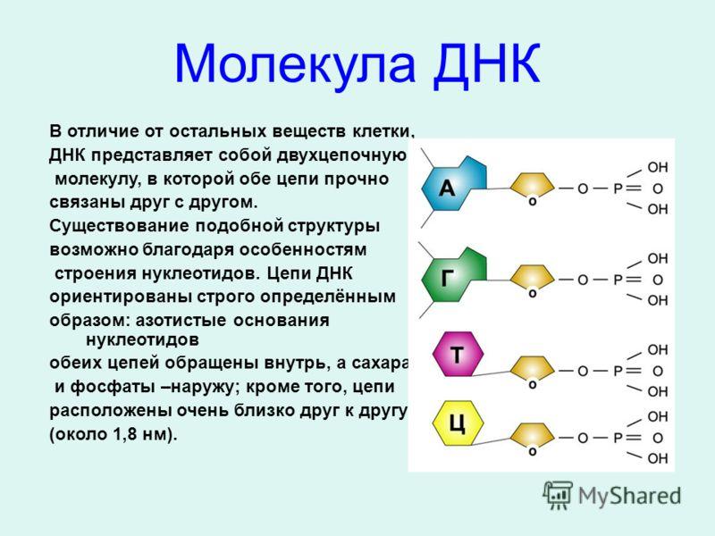 В отличие от остальных веществ клетки, ДНК представляет собой двухцепочную молекулу, в которой обе цепи прочно связаны друг с другом. Существование подобной структуры возможно благодаря особенностям строения нуклеотидов. Цепи ДНК ориентированы строго