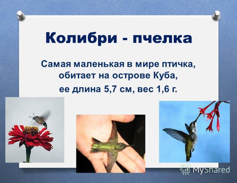 Колибри - пчелка Самая маленькая в мире птичка, обитает на острове Куба, ее длина 5,7 см, вес 1,6 г.
