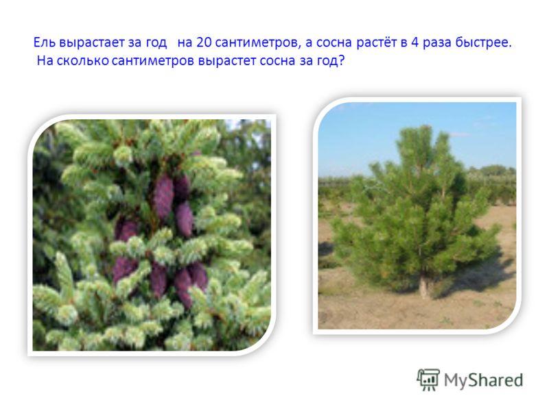 Ель вырастает за год на 20 сантиметров, а сосна растёт в 4 раза быстрее. На сколько сантиметров вырастет сосна за год?