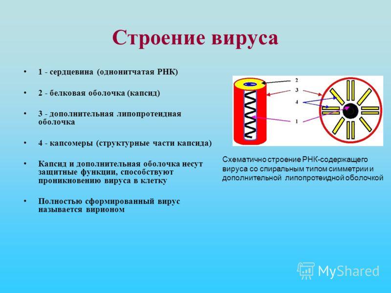 Строение вируса 1 - сердцевина (однонитчатая РНК) 2 - белковая оболочка (капсид) 3 - дополнительная липопротеидная оболочка 4 - капсомеры (структурные части капсида) Капсид и дополнительная оболочка несут защитные функции, способствуют проникновению