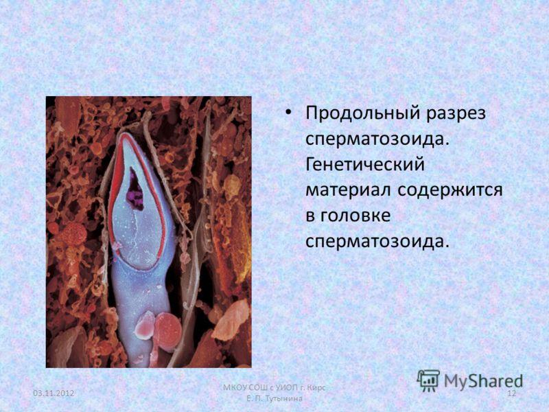 Продольный разрез сперматозоида. Генетический материал содержится в головке сперматозоида. 03.11.201212 МКОУ СОШ с УИОП г. Кирс Е. П. Тутынина