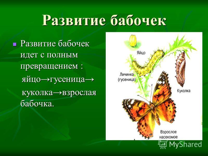 Развитие бабочек Развитие бабочек идет с полным превращением : яйцогусеница куколкавзрослая бабочка.