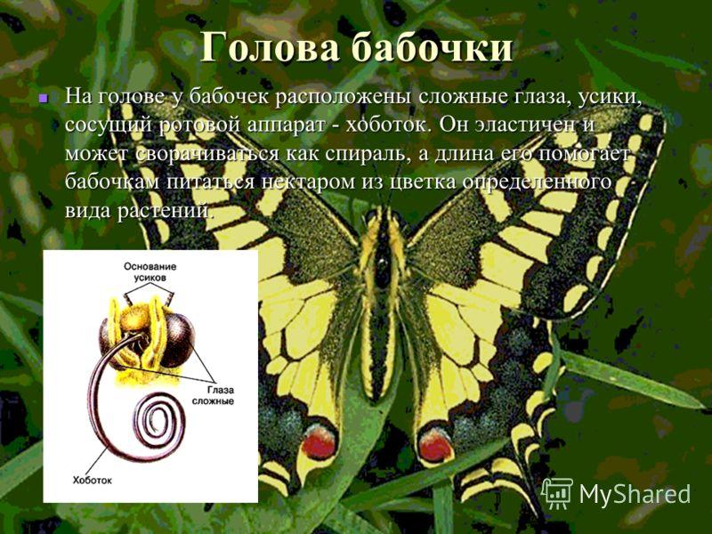 Голова бабочки На голове у бабочек расположены сложные глаза, усики, сосущий ротовой аппарат - хоботок. Он эластичен и может сворачиваться как спираль, а длина его помогает бабочкам питаться нектаром из цветка определенного вида растений.