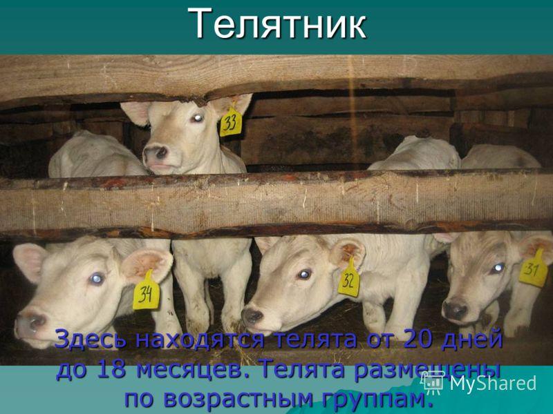 Телятник Здесь находятся телята от 20 дней до 18 месяцев. Телята размещены по возрастным группам.