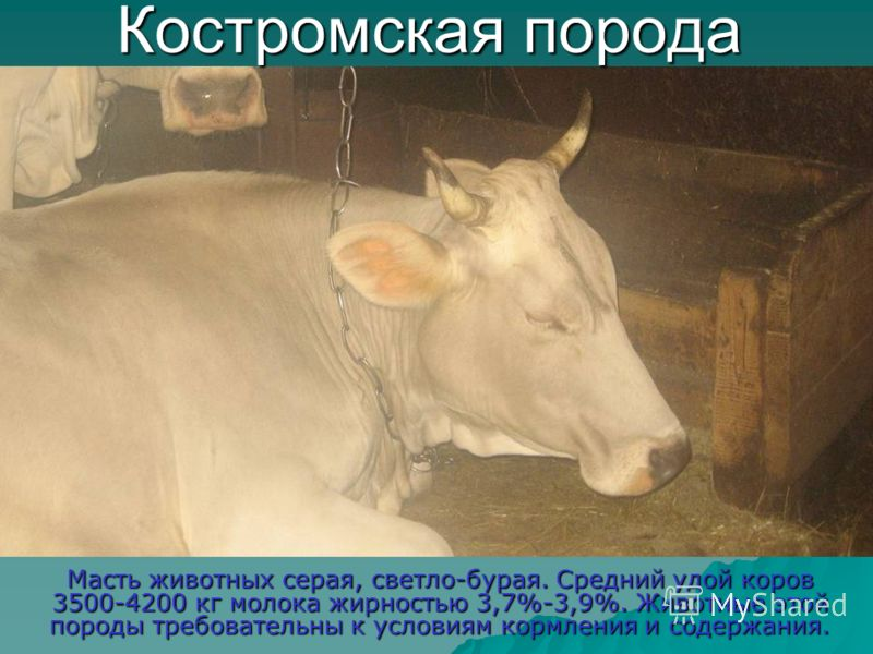Костромская порода Масть животных серая, светло-бурая. Средний удой коров 3500-4200 кг молока жирностью 3,7%-3,9%. Животные этой породы требовательны к условиям кормления и содержания.