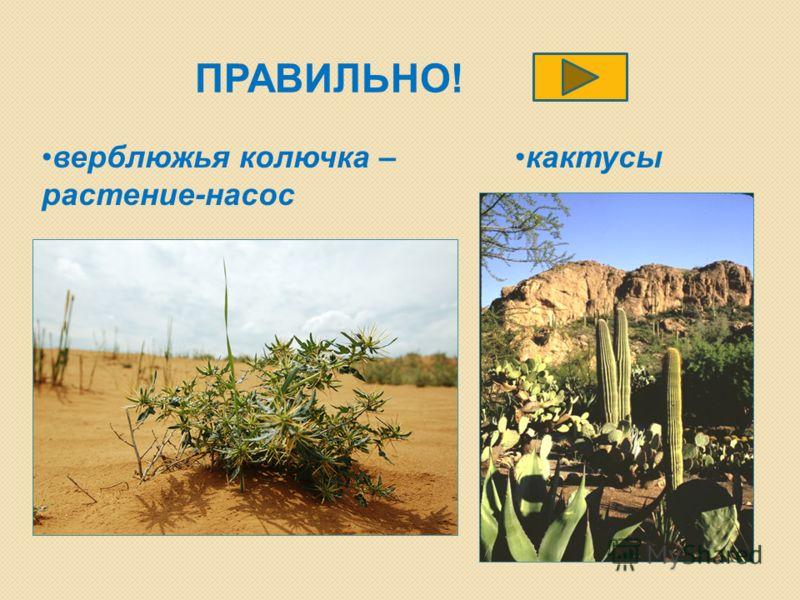 ПРАВИЛЬНО! верблюжья колючка – растение-насос кактусы