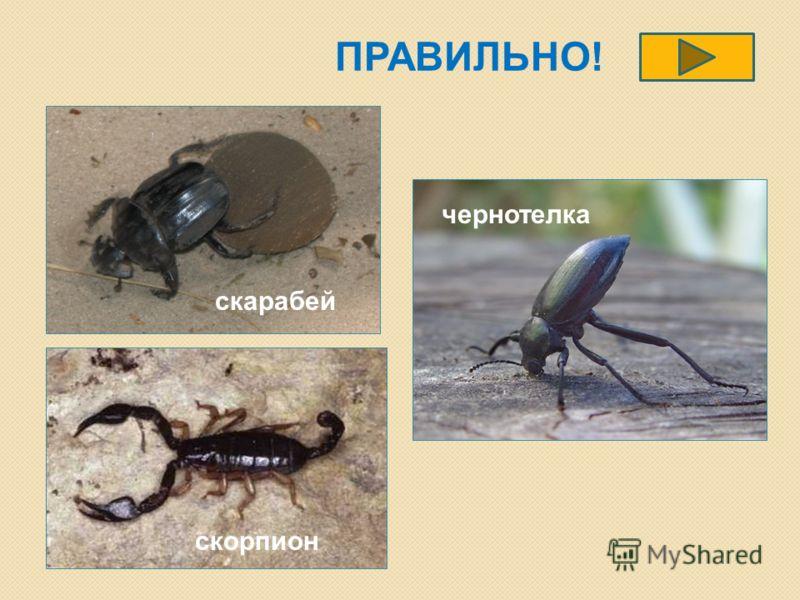ПРАВИЛЬНО! скорпион скарабей чернотелка