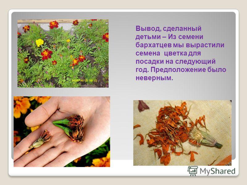 Вывод, сделанный детьми – Из семени бархатцев мы вырастили семена цветка для посадки на следующий год. Предположение было неверным.