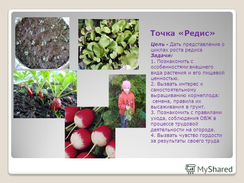 Точка «Редис» Цель - Дать представление о циклах роста редиса Задачи: 1. Познакомить с особенностями внешнего вида растения и его пищевой ценностью. 2. Вызвать интерес к самостоятельному выращиванию корнеплода: - семена, правила их высаживания в грун