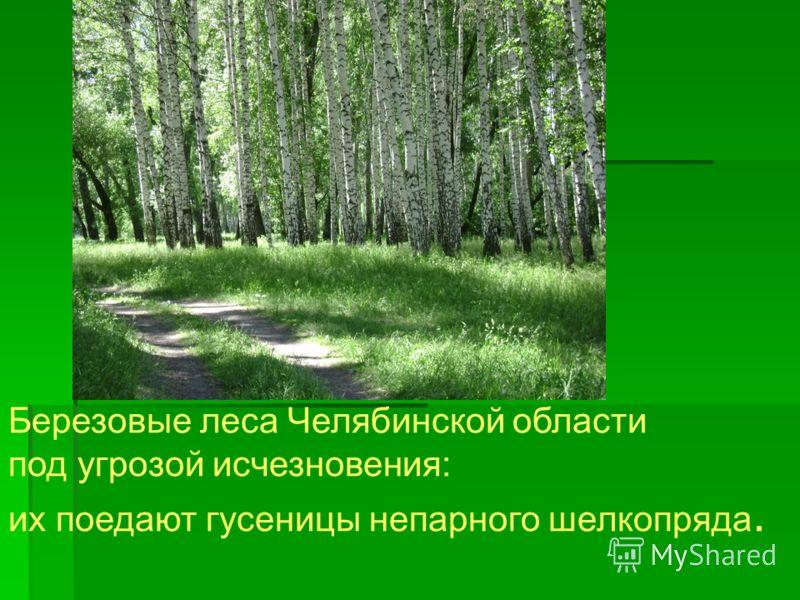 Березовые леса Челябинской области под угрозой исчезновения: их поедают гусеницы непарного шелкопряда.