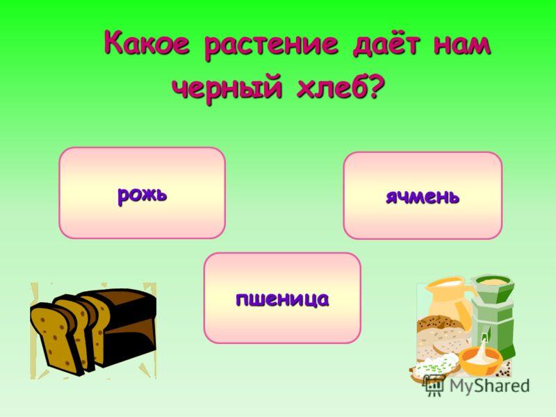 Какое растение даёт нам черный хлеб? рожь пшеница ячмень